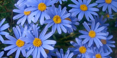голубые ромашки во сне