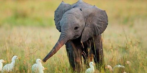 сонник слоненок
