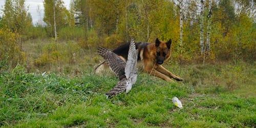 собака овчарка на охоте во сне