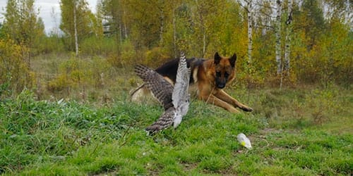 Овчарка нападает