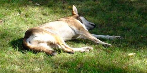 к чему снится собака умерла