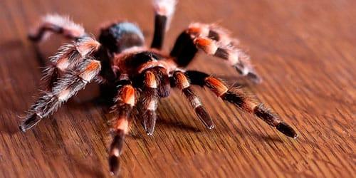 к чему снится тарантул