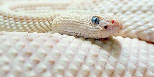 белая змея фото