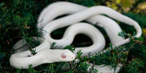 Маленькая белая змея во сне