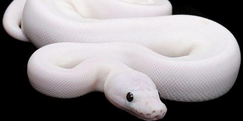 К чему снится белая змея?