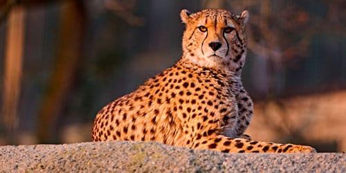 сонник гепард