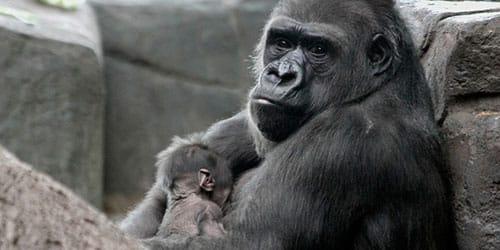 сонник горилла