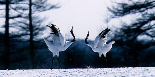 к чему снится танец журавлей
