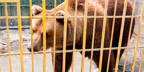 медведь в клетке во сне