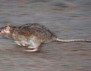 Крыса убегает