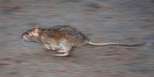 сонник крыса убегает