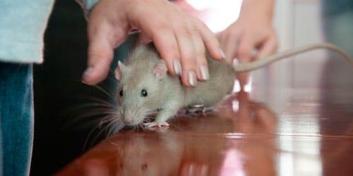 к чему снится крыса убегает от вас