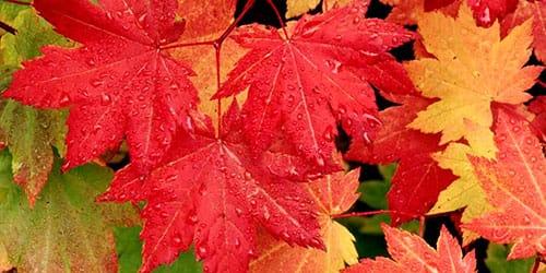 сонник листья