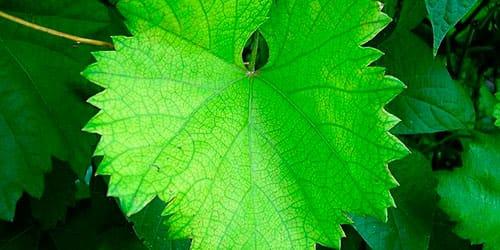 виноградные листья во сне