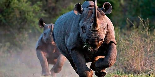 к чему снится черный носорог