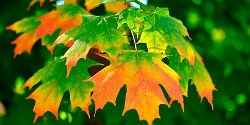 сонник осенние листья