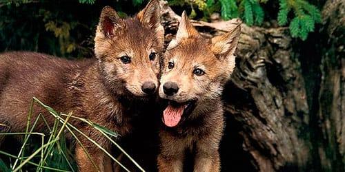 сонник волчата