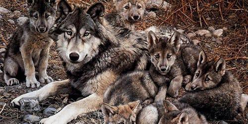 Сонник волчица к чему снится волчица во сне