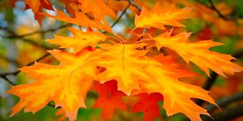 сонник желтые листья