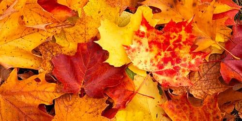 желтые листья во сне