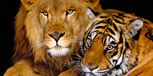 сонник лев и тигр