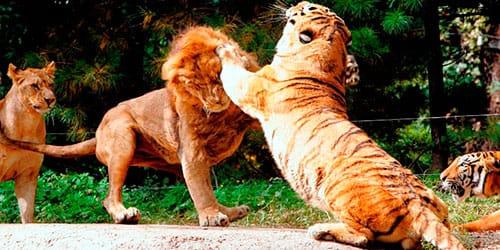 к чему снятся лев и тигр