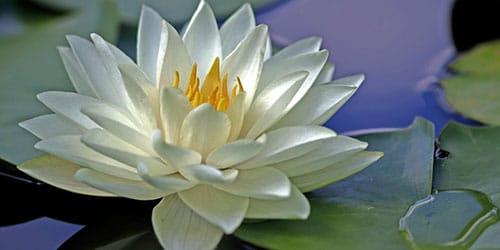сонник водяная лилия