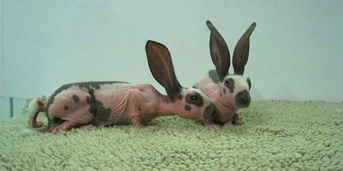 лысый кролик во сне