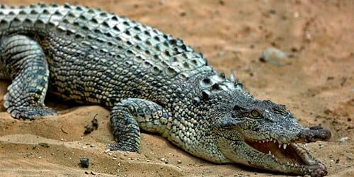 к чему снится убить крокодила