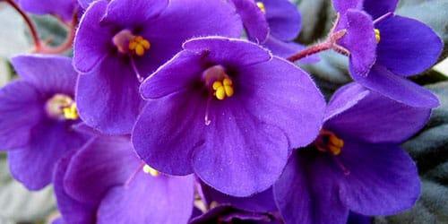 сонник фиалки фиолетового цвета