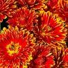 сонник хризантемы