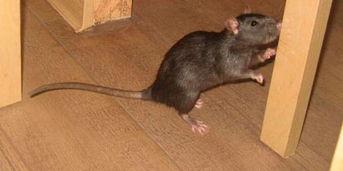 крысиный хвост во сне