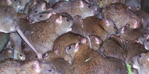 к чему снится много крыс