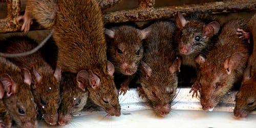 много крыс во сне