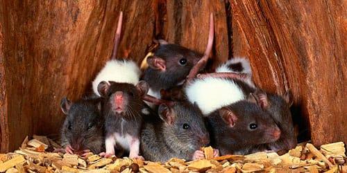 сонник много крыс