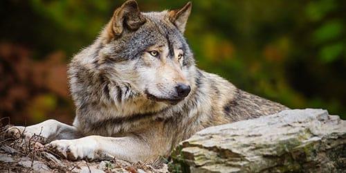 к чему снится превращение в волка