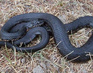 Убитая змея