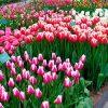 сонник цветы на клумбе