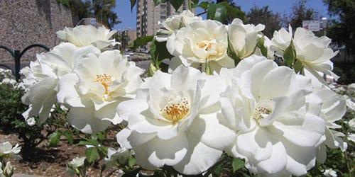 к чему снятся белые цветы на клумбе