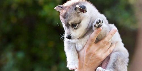 к чему снится щенок на руках