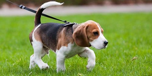сонник собака на поводке