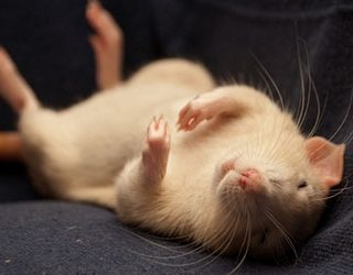 Убить крысу