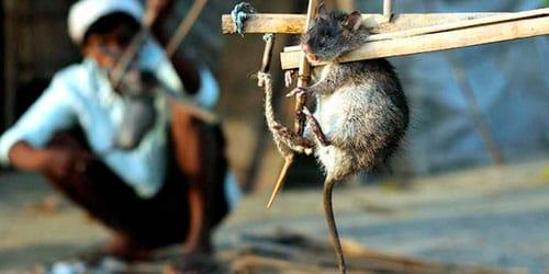сонник убить крысу