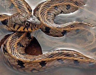 Змеи в воде