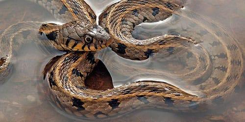 сонник змеи в воде
