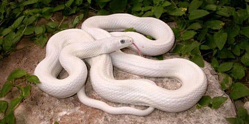 сонник большая белая змея