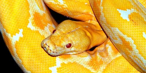 большая желтая змея во сне