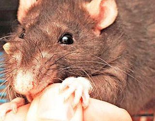 Крыса кусает