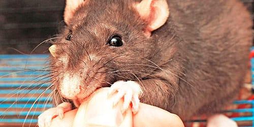 крыса кусает за руку