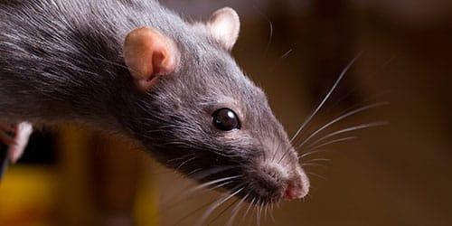 крыса укусила во сне